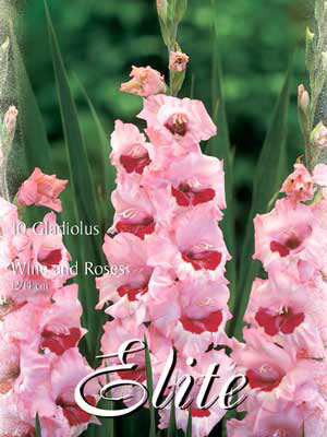 Großblumige Gladiole 'Wine and Roses', Gladiolus (Art.Nr. 521326)