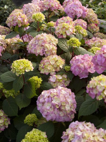 Hydrangea macrophylla 'Endless Summer BloomStar'®