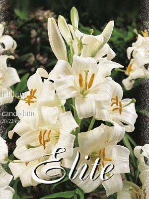 Weiße Madonnenlilie, Lilium candidum (Art.Nr. 597010)
