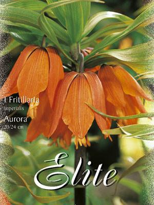 Kaiserkrone 'Aurora', Fritillaria (Art.Nr. 596750)