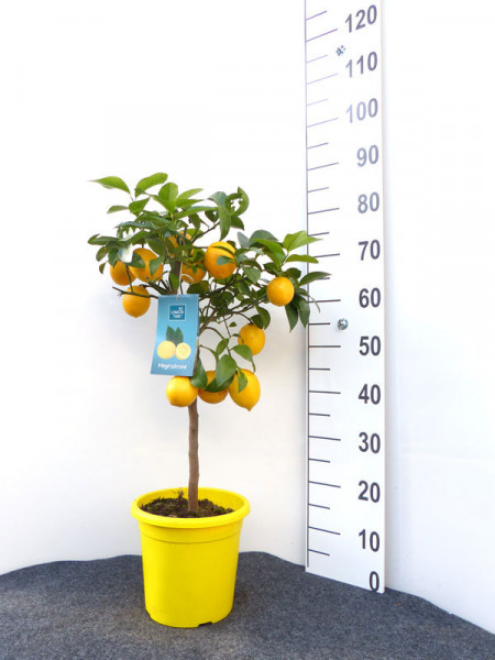 Zitronenbaum 'Meyerzitrone' - Lemon Time®