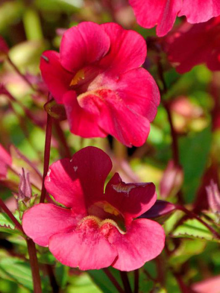 Mimulus cupreus 'Roter Kaiser', Rote Gauklerblume