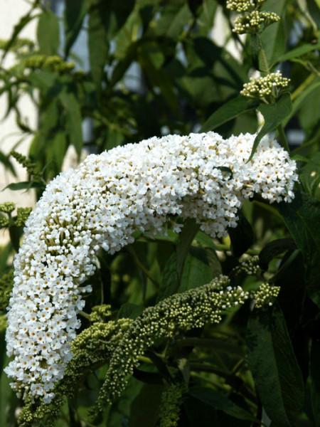 Sommerflieder Weiß Blüte