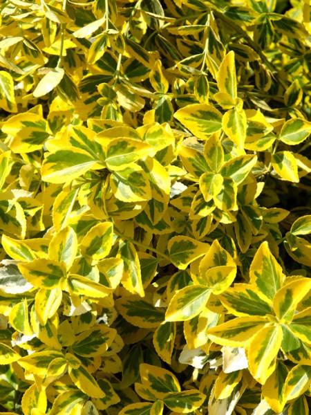 Laub der gelbbunten Kriechspindel 'Emerald'n Gold'