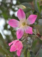 Rosa glauca, rotblättrige Rose, blaue Hechtrose