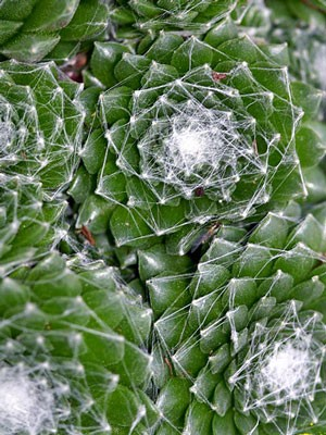 Sempervivum arachnoideum ssp. tomentosum, Spinnweb-Hauswurz