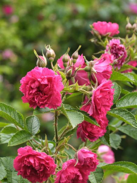Blüten der Rose F. J. Grootendorst