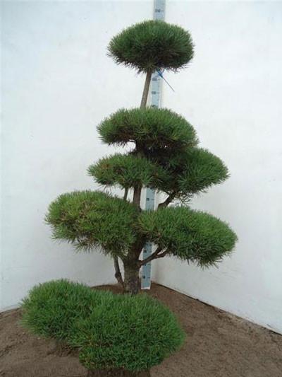 Pinussylvestris -Bonsai , XXL-Produkt