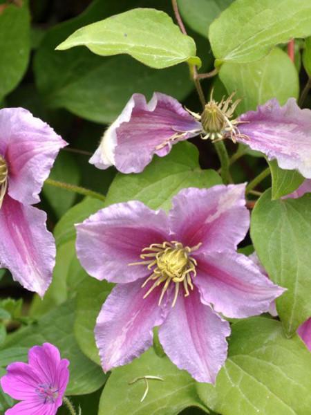 Blüten der Clematis 'Piilu'