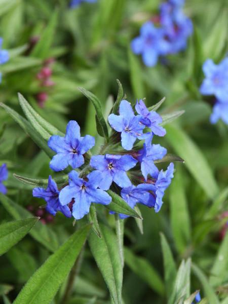Zarte Blüte des purpurblauen Steinsame