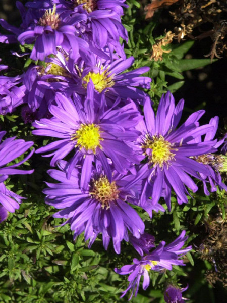 Aster dumosus 'Augenweide', violette Kissen-Aster, Herbst-Aster