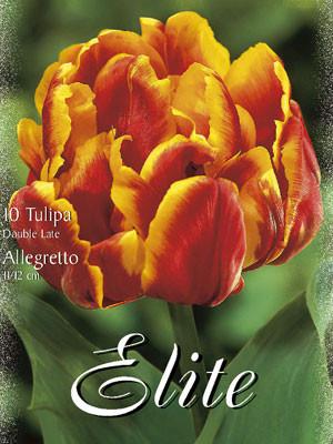 Gefüllte späte Tulpe 'Allegretto' (Art.Nr. 595400)