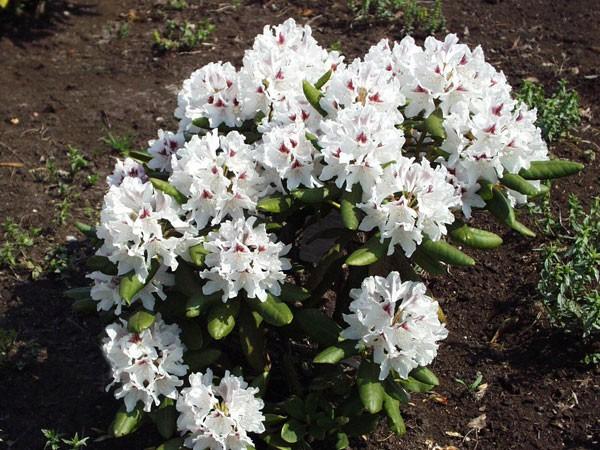 Rhododendron 'Schneeauge'