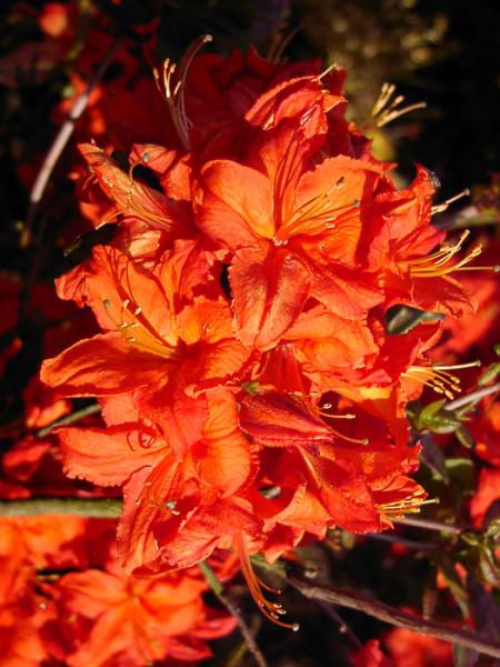 Rhododendron luteum 'Fireball', sommergrüne japanische Gartenazalee