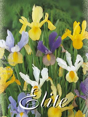 Iris hollandica, Mischung, Schwertlilie (Art.Nr. 521590)