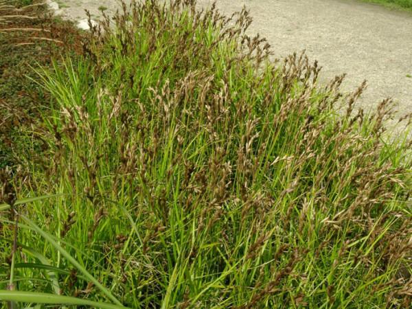 Carex muskingumensis (M), Palmwedel-Segge