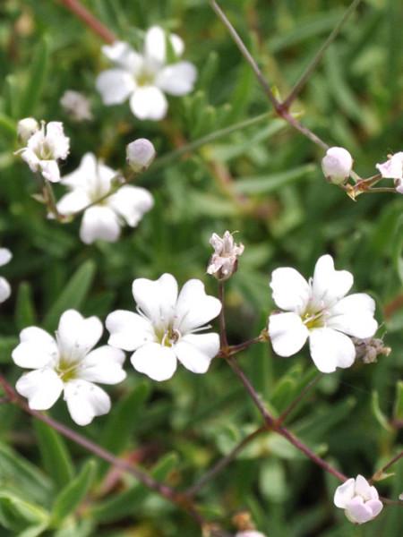 Zierliche Blüte des Zwergschleierkrauts