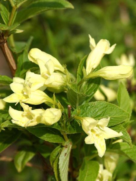 Blüte der gelben Weigelie