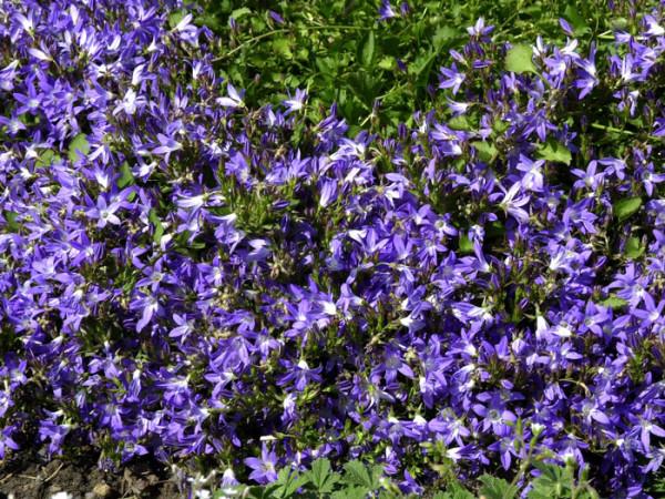 Campanula poscharskyana 'Stella', Hängepolster-Glockenblume, Gartenglockenblume