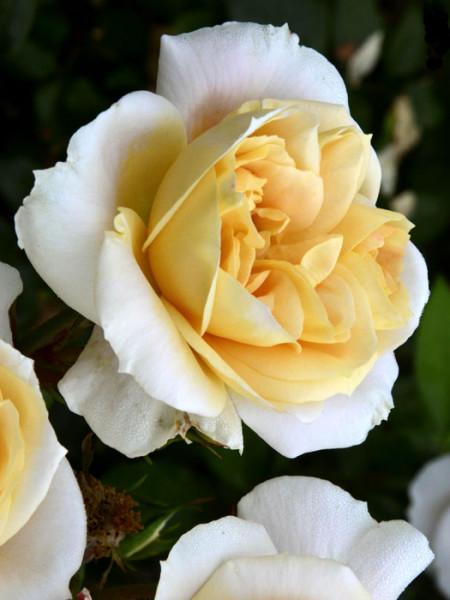 Blüte der Rose Lions-Rose