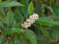 Prunus lusitanica 'Angustivolia', Portugiesischer Kirschlorbeer