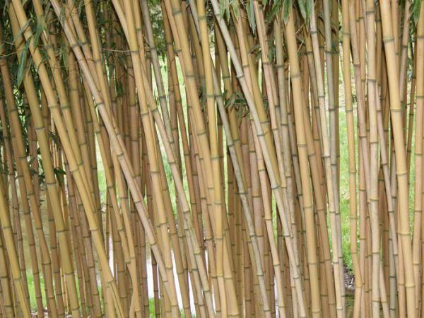 Phyllostachys aureosulcata aureocaulis, Goldener Peking Bambus