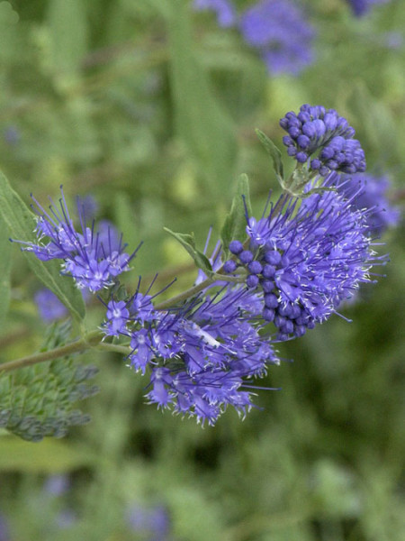 Dunkel-Violette Blüte der Bartblume 'Heavenly Blue'