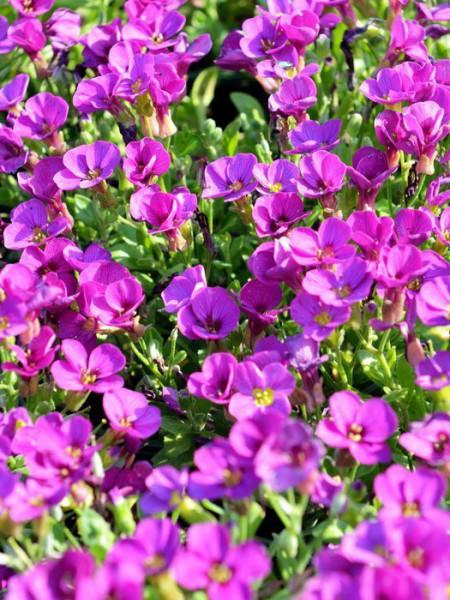 Aubrieta Hybride 'Rosenteppich', Blaukissen