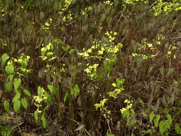 Flächendeckende Bepflanzung mit der Elfenblume