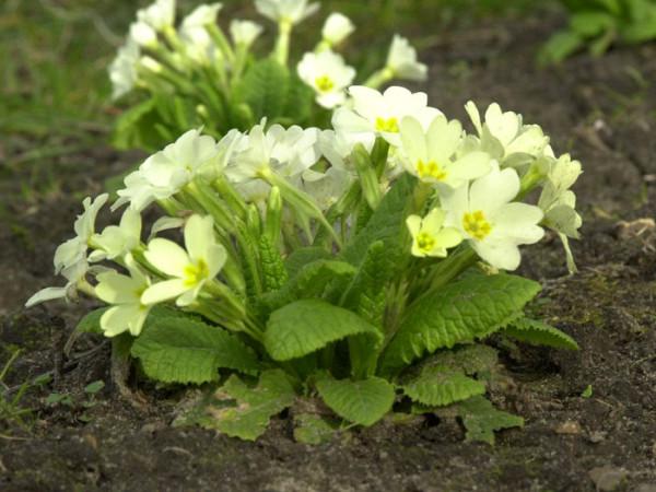 Primula vulgaris, Kissenprimel, stängellose Schlüsselblume