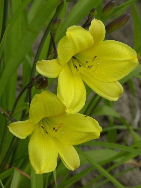 Hemerocallis Hybride 'Corky', Taglilie