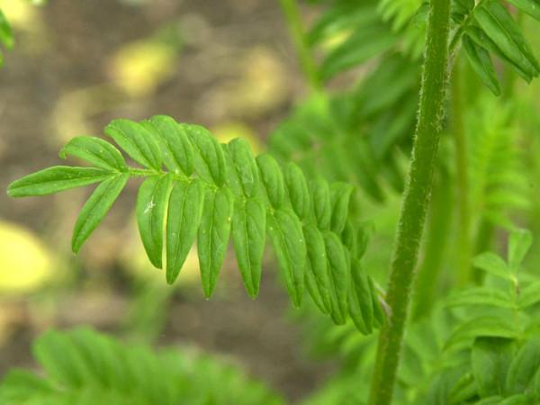 Polemonium caeruleum, Jakobsleiter, Himmelsleiter, Sperrkraut