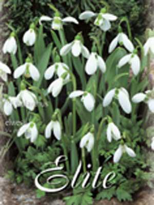 Schneeglöckchen 'Elwesii', Galanthus (Art.Nr. 596790)