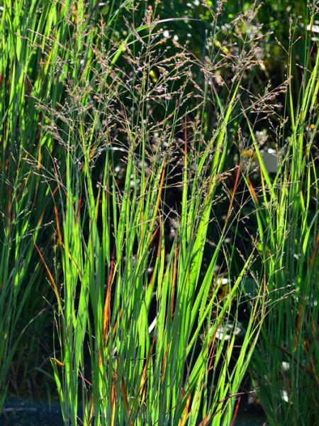 Panicum virgatum 'Heiliger Hain', Garten-Ruten-Hirse, Zier-Hirse