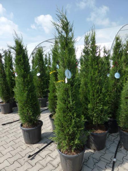 Cupressocyparis leyl. pyramidalis 'Eisspitze'®, Toscana-Zypresse