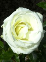 Rose La Paloma 85 ® - Tantau