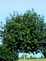 Acer campestre 'Nanum',  Kugel-Feldahorn - XXL-Produkt