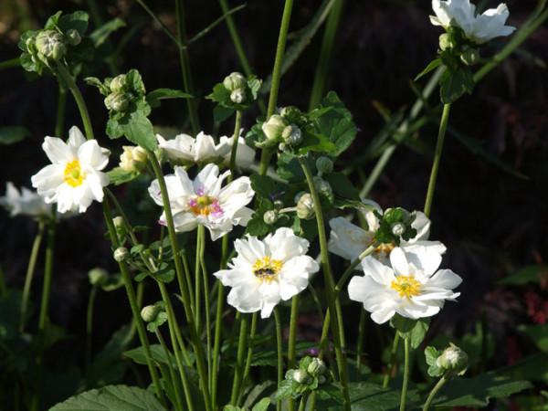 Weiße Blüten der Herbstanemone 'Wirbelwind'