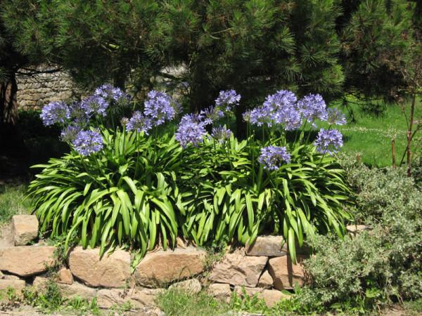 Agapanthus africanus, afrikanische Schmucklilie