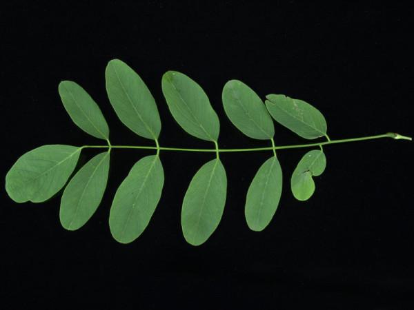 Robinia pseudoacacia 'Tortuosa', Korkenzieher-Robinie