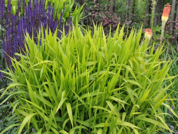 Chasmanthium latifolium, Plattährengras