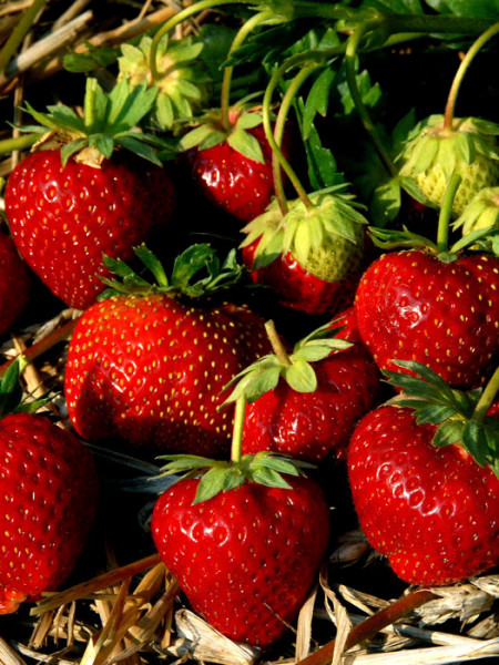 Erdbeere 'Senga-Sengana'