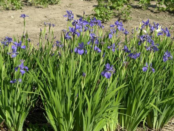Iris sibirica 'My Love', Wiesen-Schwertlilie, Wiesen-Iris