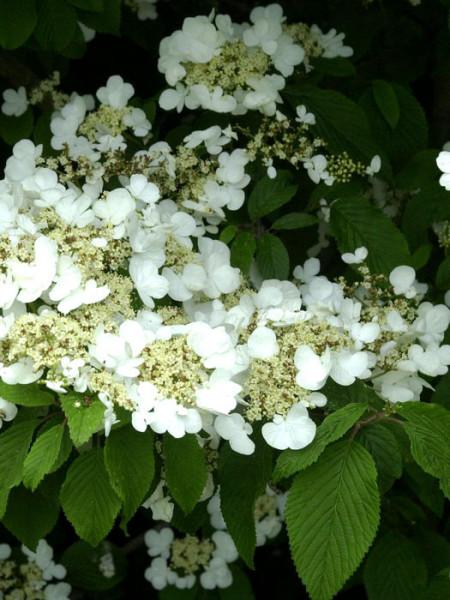 Filziger Schneeball Blütenstand
