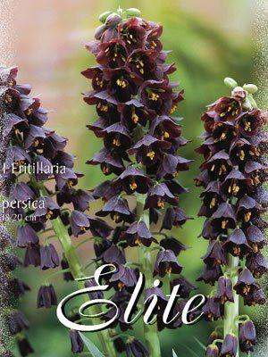 Kaiserkrone 'Persica', Fritillaria (Art.Nr. 596766)