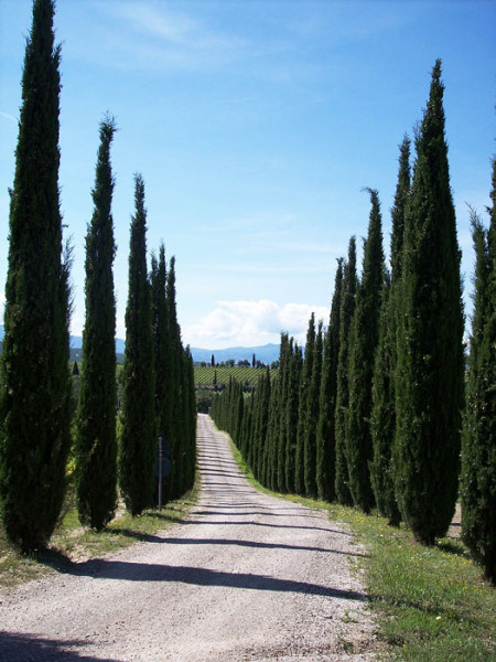 Allee aus großgewachsenen Toscana-Zypressen