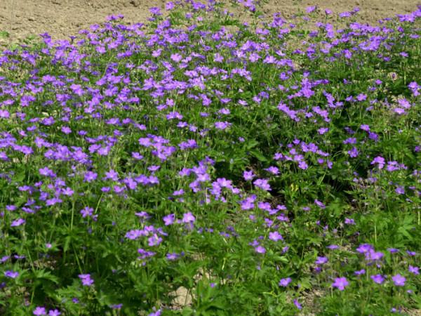 Geranium sylvaticum 'Mayflower', Wald-Storchschnabel