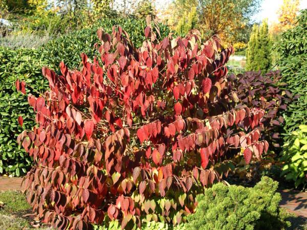 Schneeball Mariesii Herbstfärbung