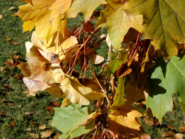 Acer platanoides, Spitzahorn