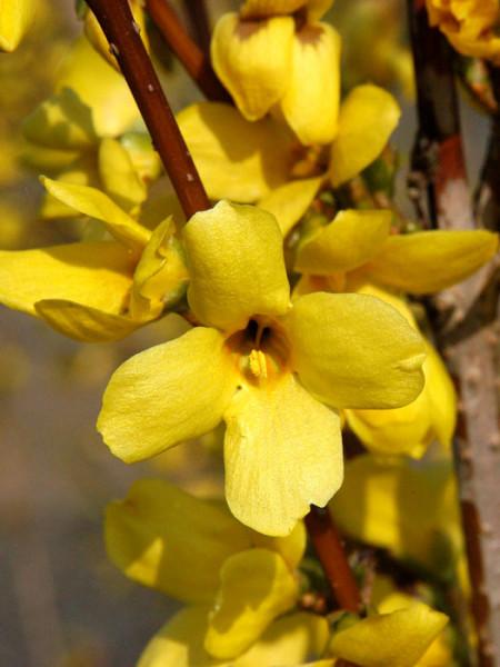 Das Goldglöckchen 'Week-End' während der Blütezeit
